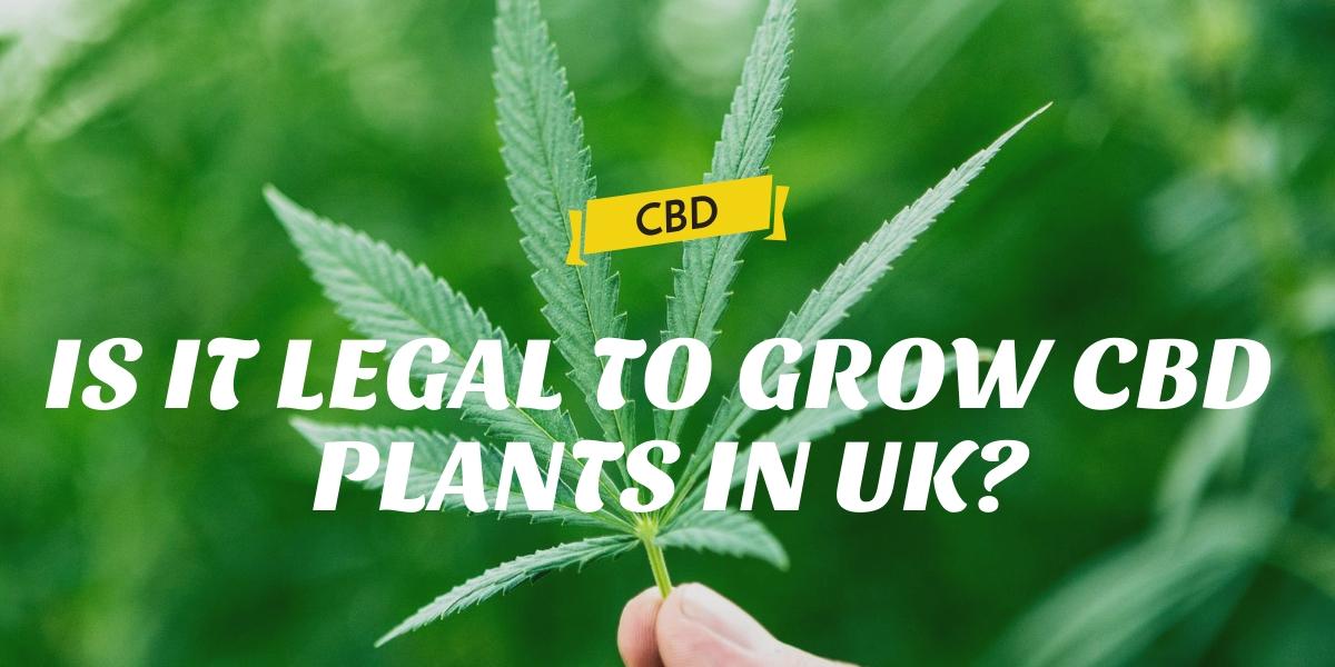 IS IT LEGAL TO GROW CBD PLANTS IN UK?
