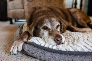 Using CBD oil for Arthritis in Dogs